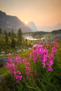 Fireweed at sunset above Hungabee Lake on The Opabin Plateau, Yoho National Park, BC