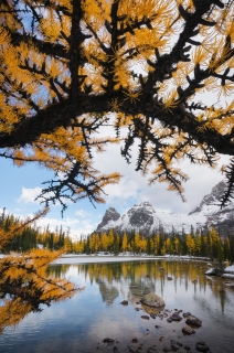 A larch archway at flat rock on the Opabin Plateau,  Yoho National Park, BC