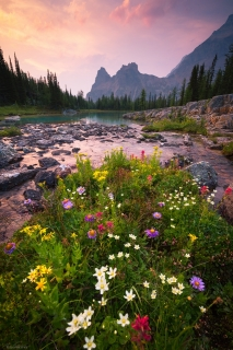 A wildflower bouquet flourishing on The Opabin Plateau, Yoho National Park, BC