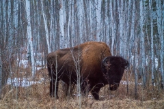 A wood bison amongh the aspens, Wood Buffalo Natioanl Park, Alberta, Canada