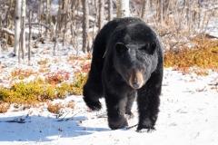 A curious black bear approaching in Wood Buffalo Natioanl Park, Alberta, Canada