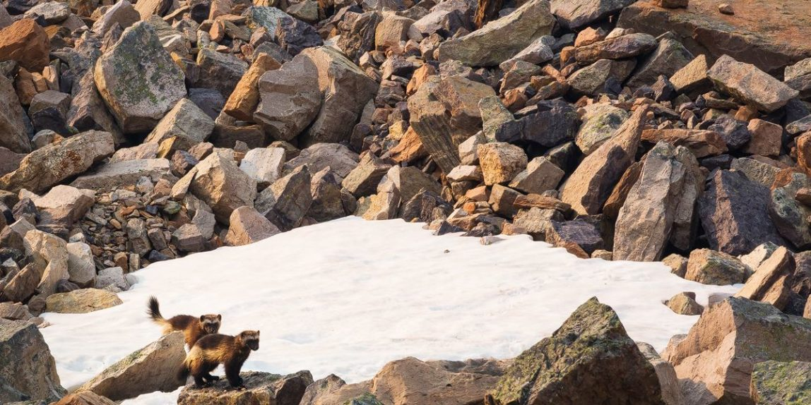 Two wolverines in the wild pause from a moment of play to look, Yoho National Park, British Columbia, Canada