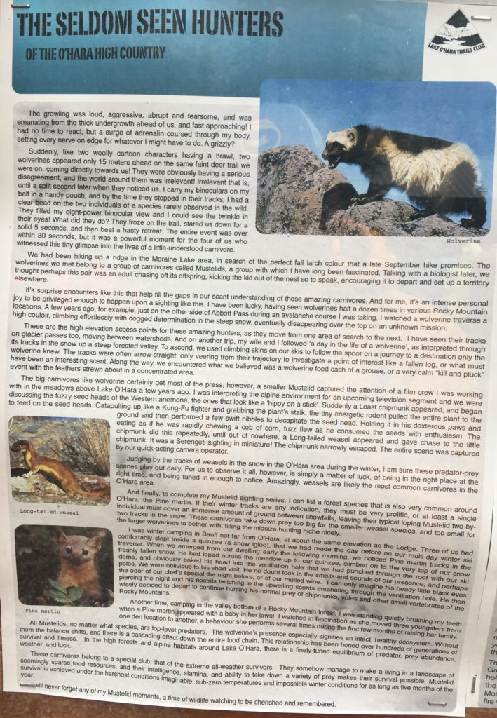 A photograph of an article on wolverines in the Lake O'Hara high country