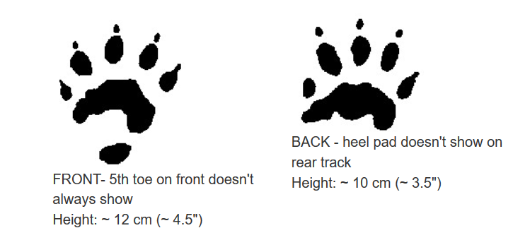 wolverine tracks. Bothe back and front foot print.