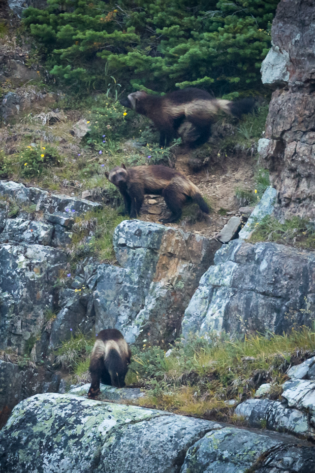 3 wolverines in the lake o'hara area.