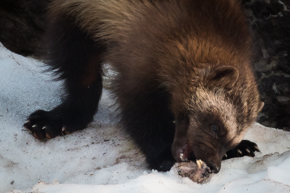 A wolverine chews on a jaw bone, yoho National Park, BC, Canada