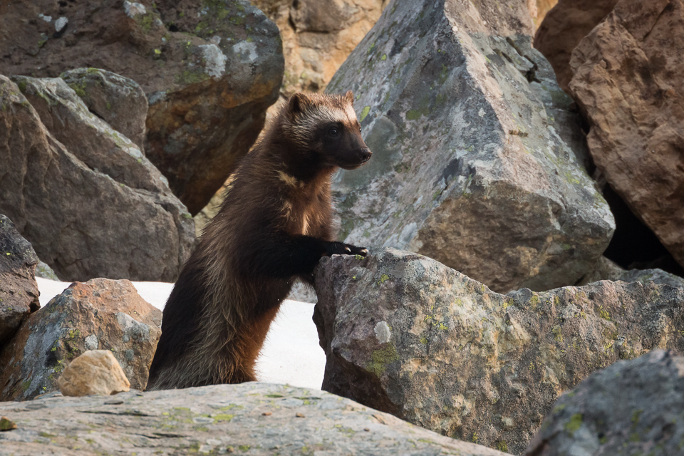 A wolverine pauses on alert one arm braced on a boulder, yoho National Park, BC, Canada