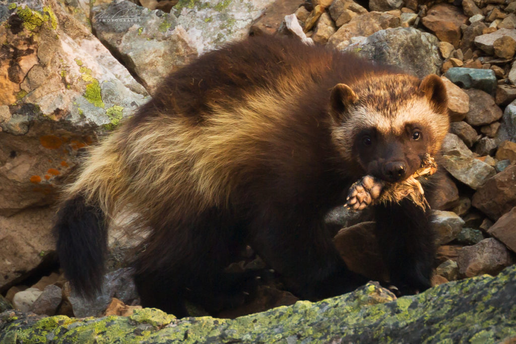 A wolverine eating a Hoary Marmot's foot, Yoho National Park, BC, Canada