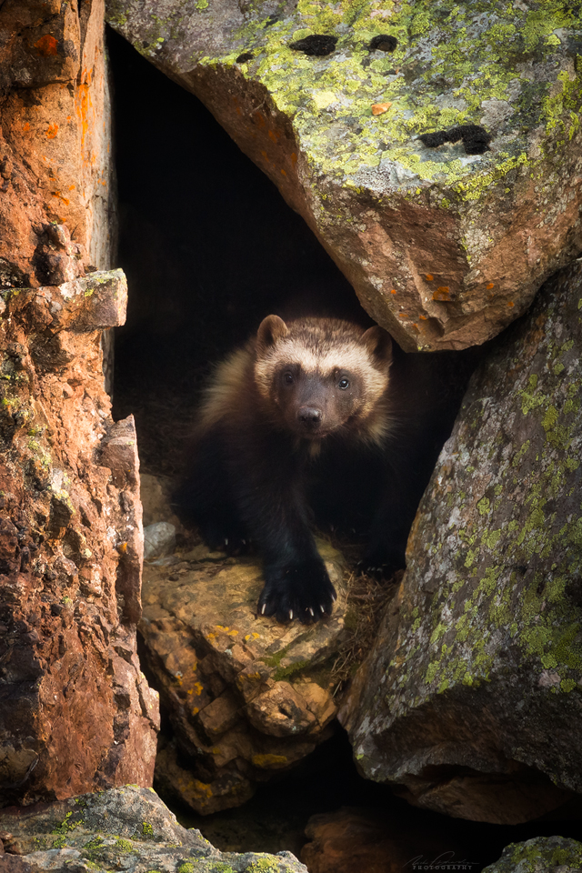 a juvenile wolverine in the wild looking vulnerable, Yoho National Park, BC, Canada