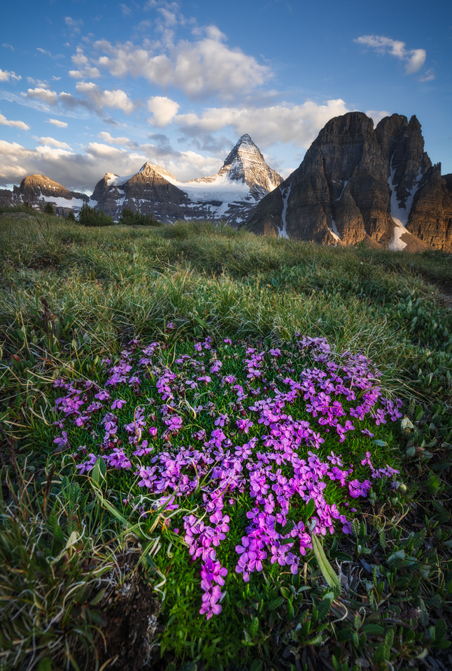 Purple moss campion and luh green grasses on The Niblet in early summer with Mt Assiniboine poking up behind.