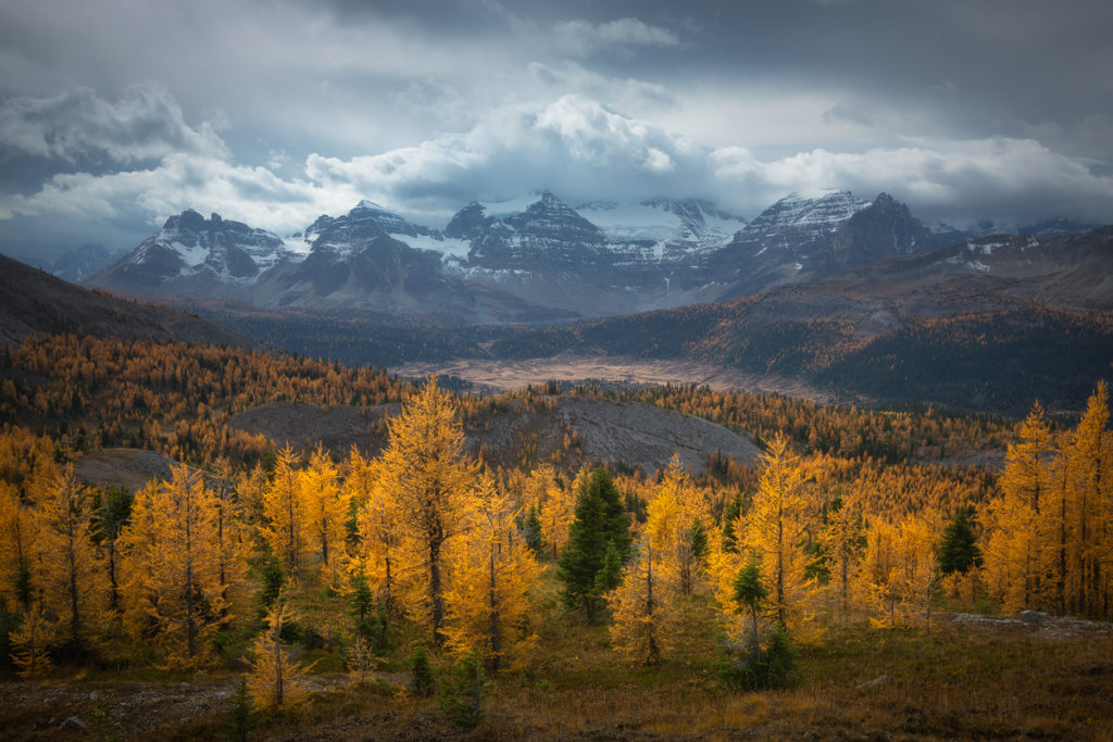 Golden larch trees along the Windy Ridge trail in Mt Assiniboine Provincial Park, BC, Canada