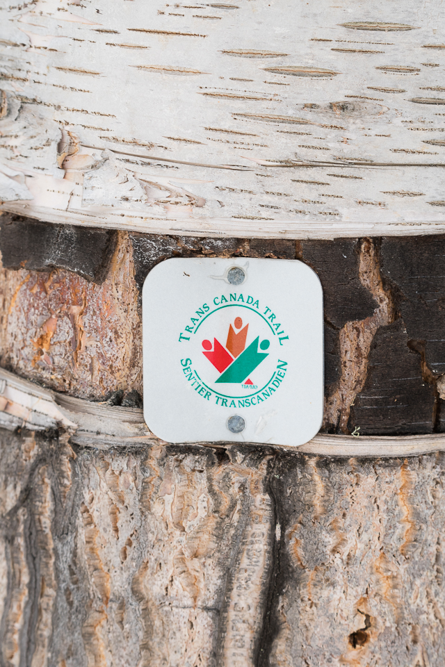 The Trans Canada Trail on the trunk of a birch tree, Pelican Rapids, Alberta, Canada
