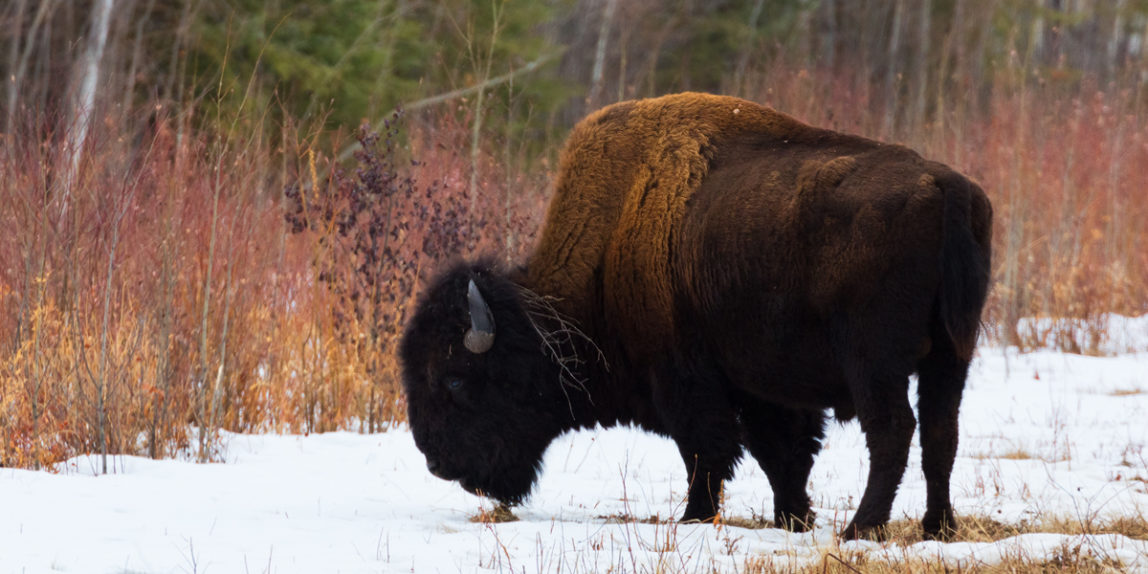 A bison grazing for grasses alongside the highway in Wood Buffalo National Park, AB, Canada
