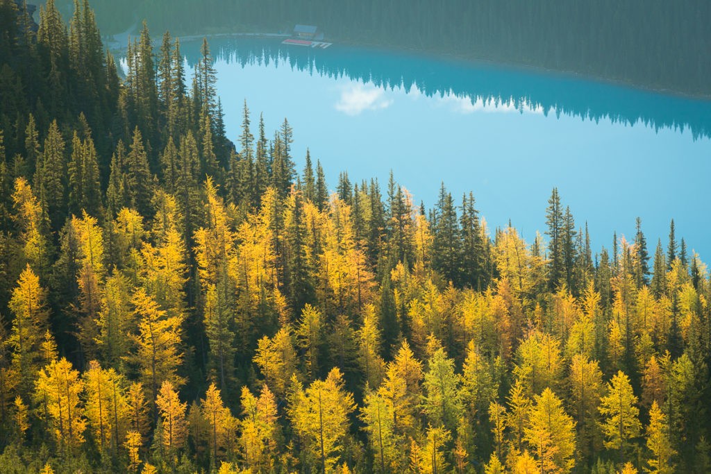 Alpine larch trees above Lake Louise on Little Beehive in Banff National Park