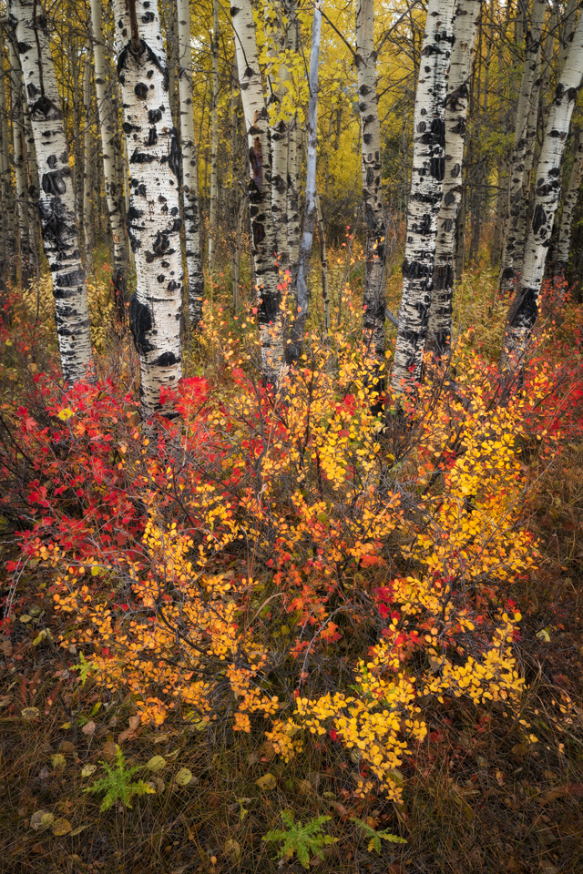 Colorful undergrowth and trembling aspen trees at Carrot Creek in Banff National Park, Alberta, Canada