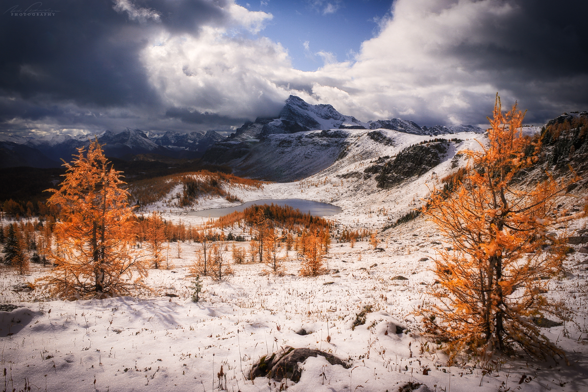 Snow and larch trees in sunshine at Healy Pass in Banff National Park