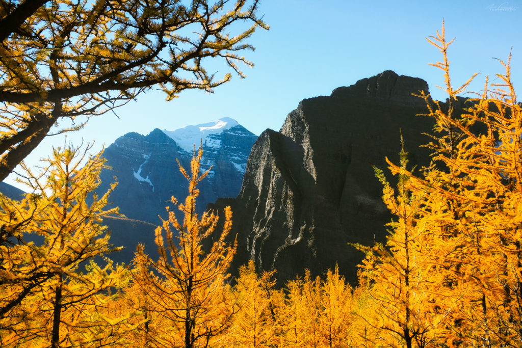 A golden larch tree framing in Saddleback Pass with Mt Temple in the background, Banff National Park