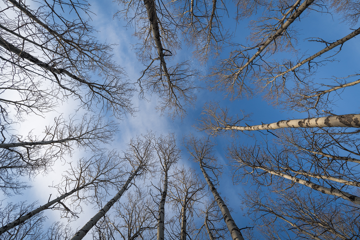 Looking up at Trembling Aspens along the edge of Barrier Lake in Kananaskis