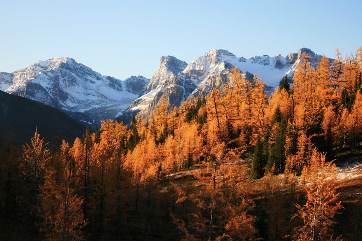 Sunrise on golden larch trees at Gibbon Pass in Banff National Park, an amazing fall photography location