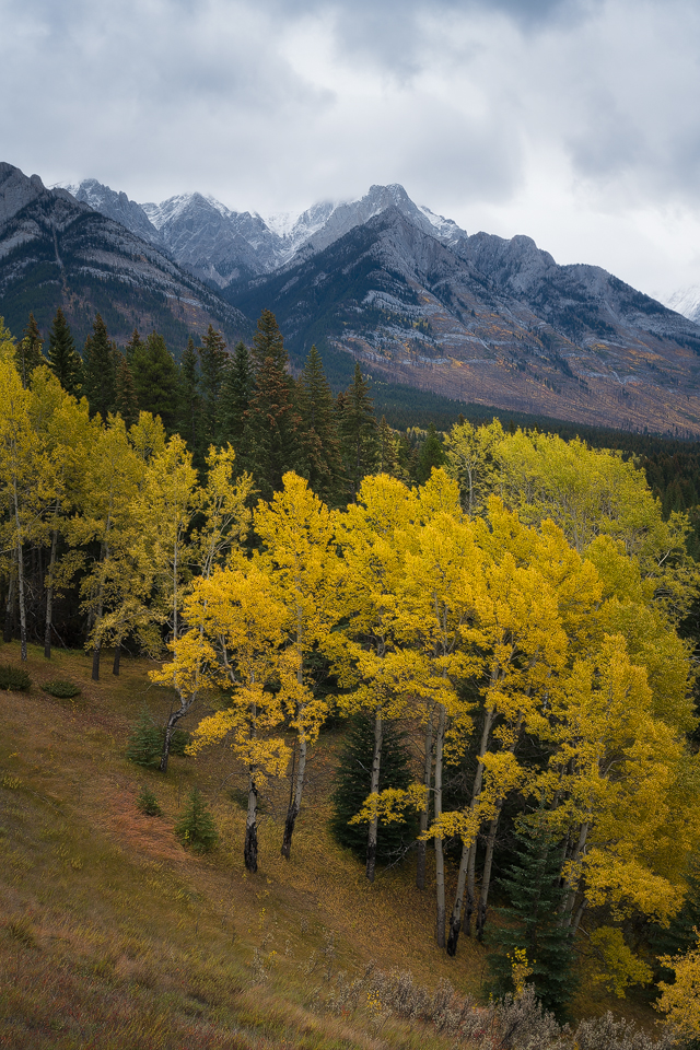 trembling aspen along the Bow Valley Parkway in Banff National Park, a great spot for fall photography