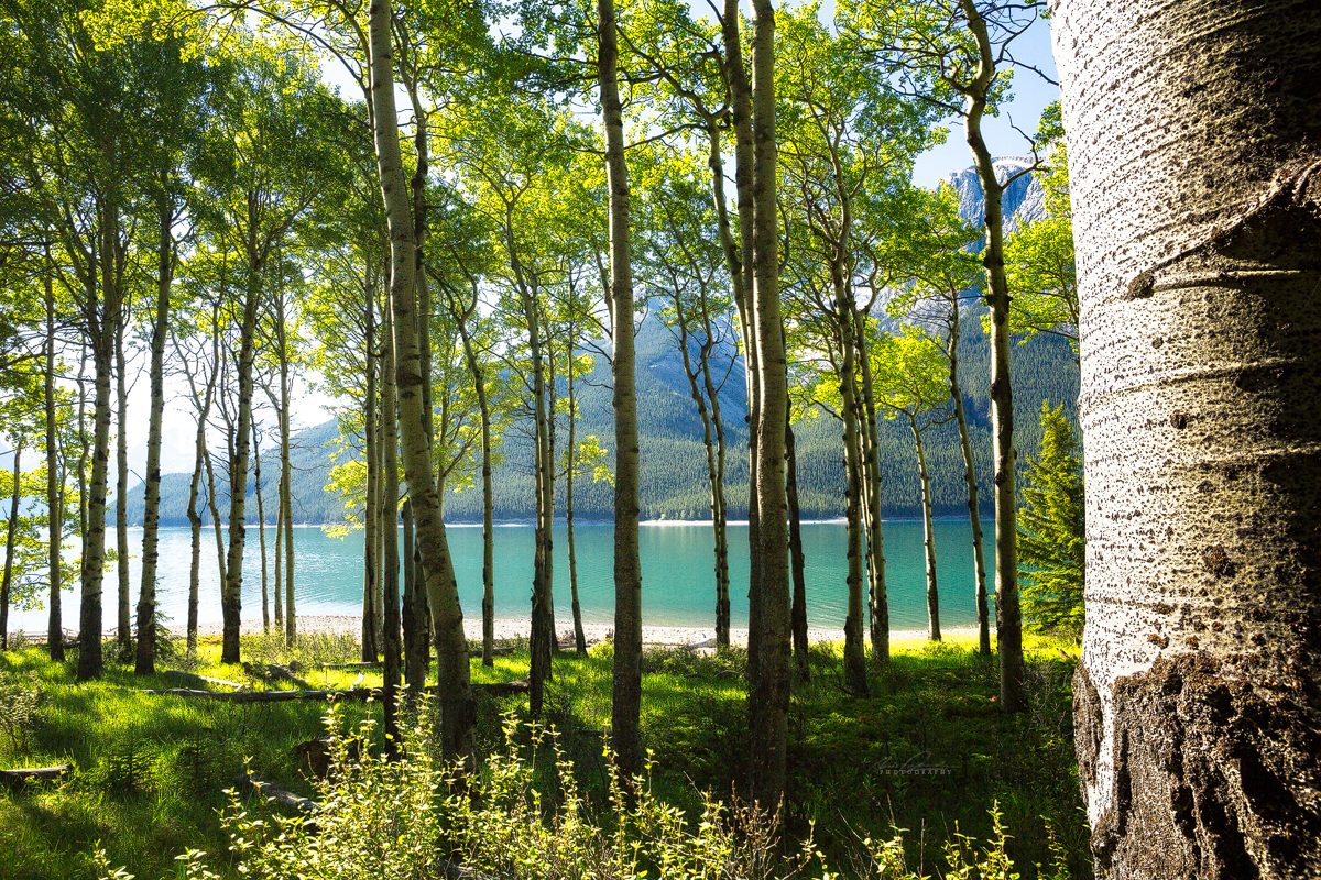 Looking out from within a grove of trembling aspen trees at Aylmer Canyon campsite along the edge of Lake Minnewanka in Banff National Park