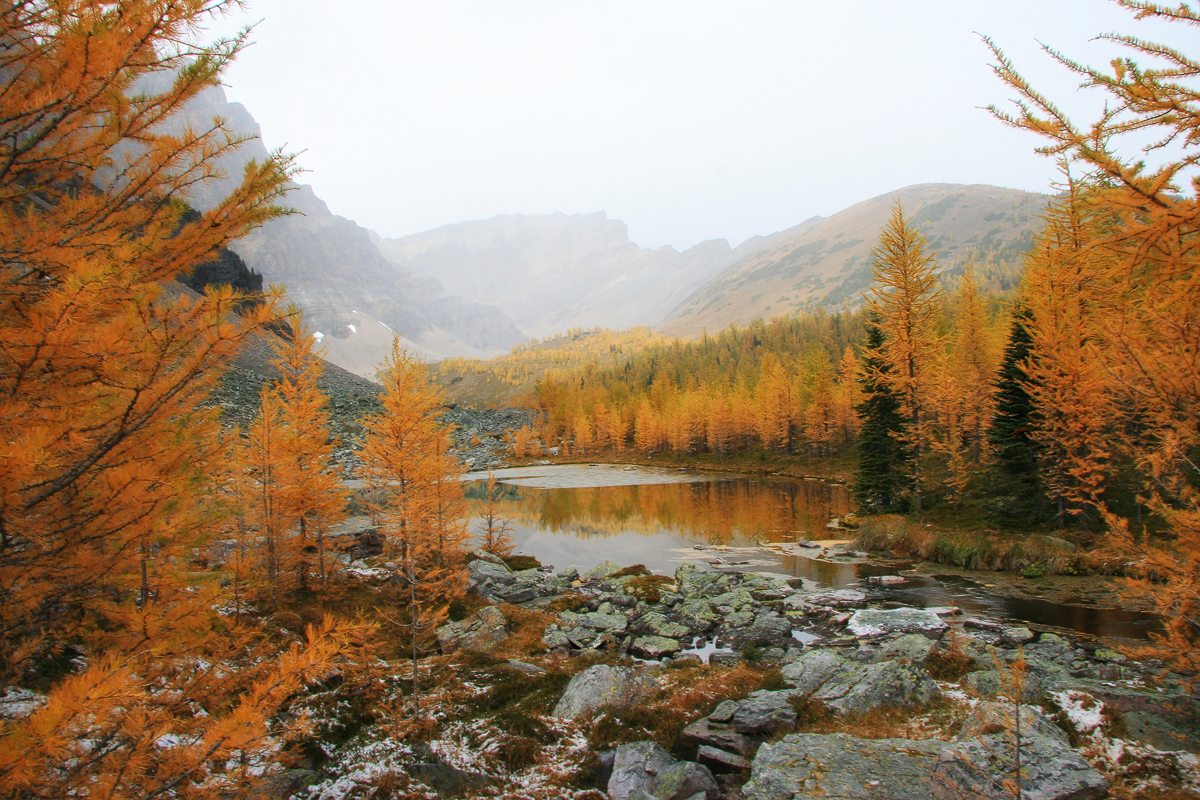 Larch trees surrounding a tarn on the side of Panorama Ridge in Banff National Park