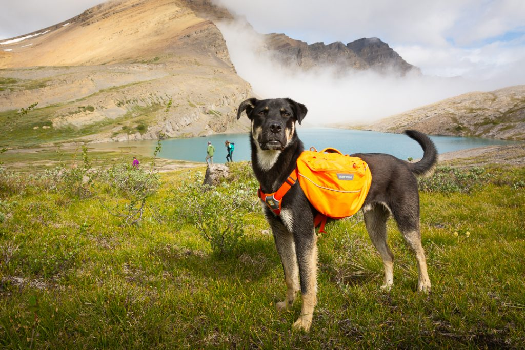 Carl the puppy standing astutely with his new oranage backpack on, Alberta, Canada