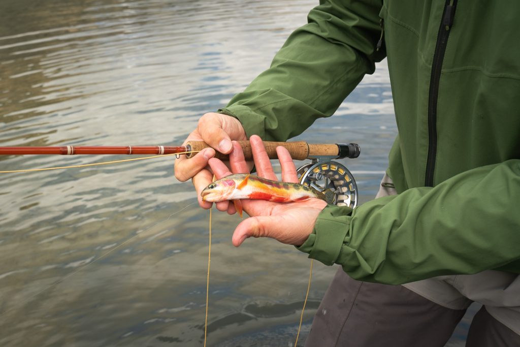 Close up of golden trout in fly fishermans hand with reel being held in other hand, Alberta, Canada