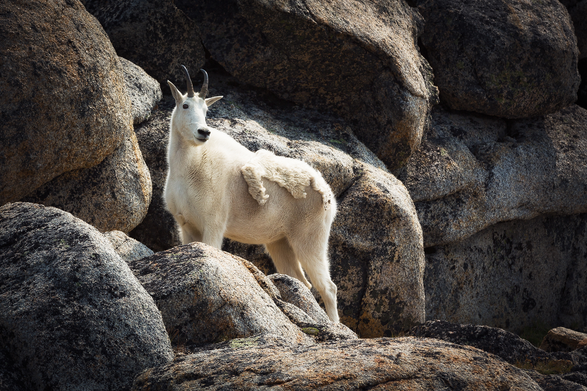This image shows a strong, healthy mountain goat in its natural environment.